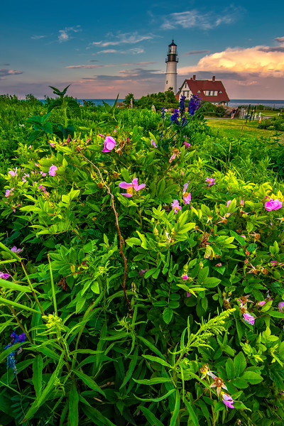Wild Roses at Portland Head Light 3.jpg