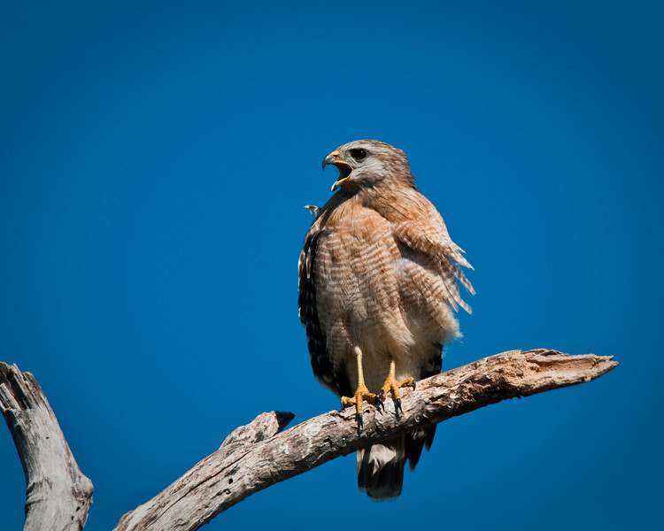 Red-Shouldered Hawk, Everglades National Park, Florida