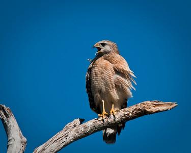 Hawks, Falcons, Harriers & Kites