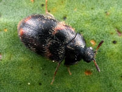 Dermestidae - Dermestid Beetles
