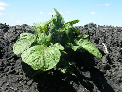 Potatoes & Irrigation