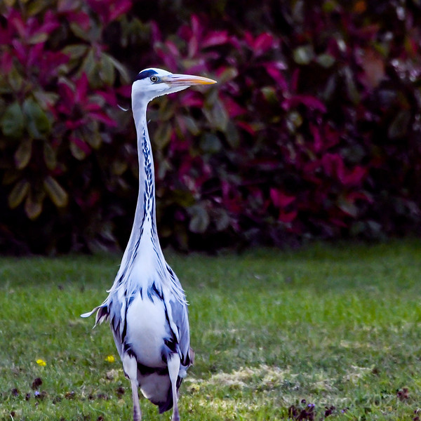 Heron by a long neck