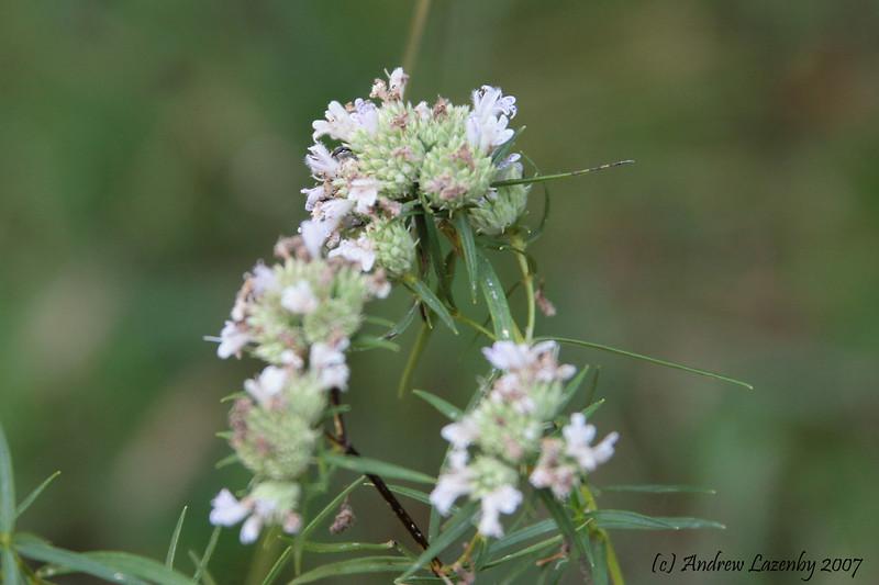Pycnanthemum tenuifolium.jpg