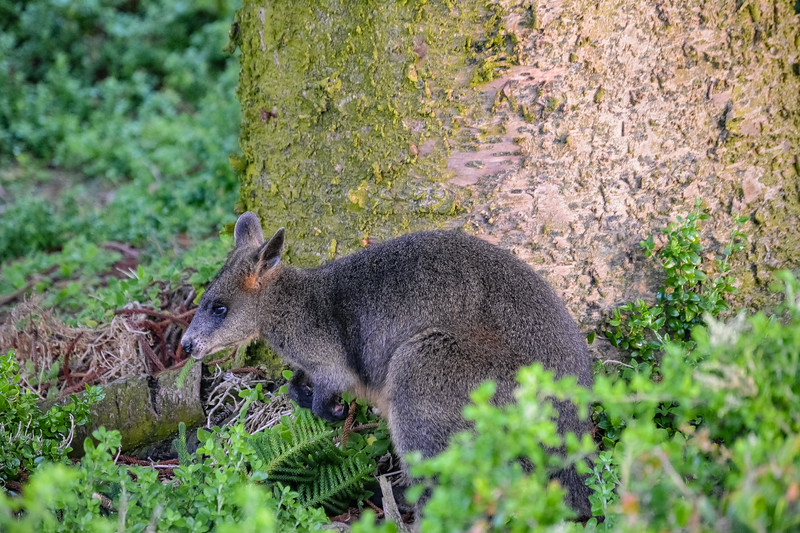 port-fairy-swamp-wallaby.jpg
