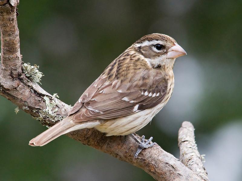 Grosbeak - Rose-breasted - female - Dunning Lake, MN - 01