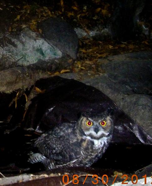 Great Horned Owl1.jpg
