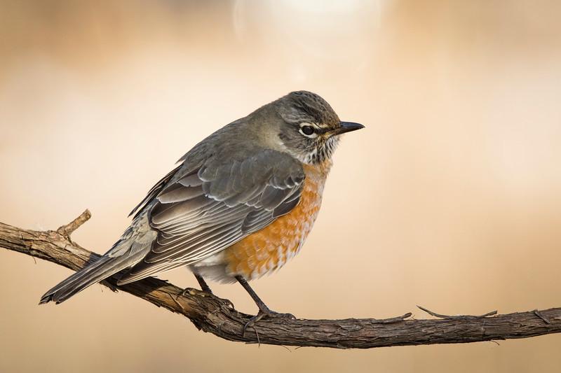 Robin in Winter_4Z8A4999.jpg