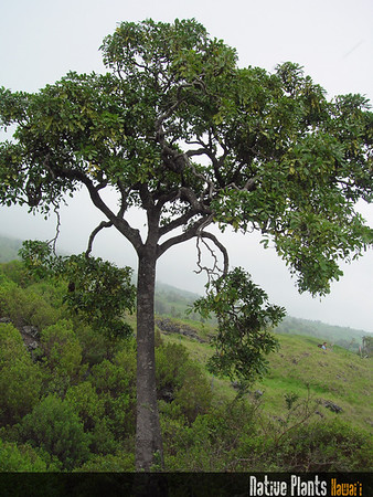 Tetraplasandra oahuensis