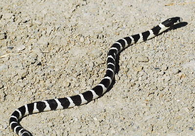 Common (California) Kingsnake