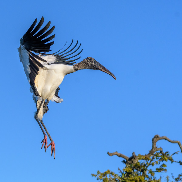 Wood Stork with the brakes on