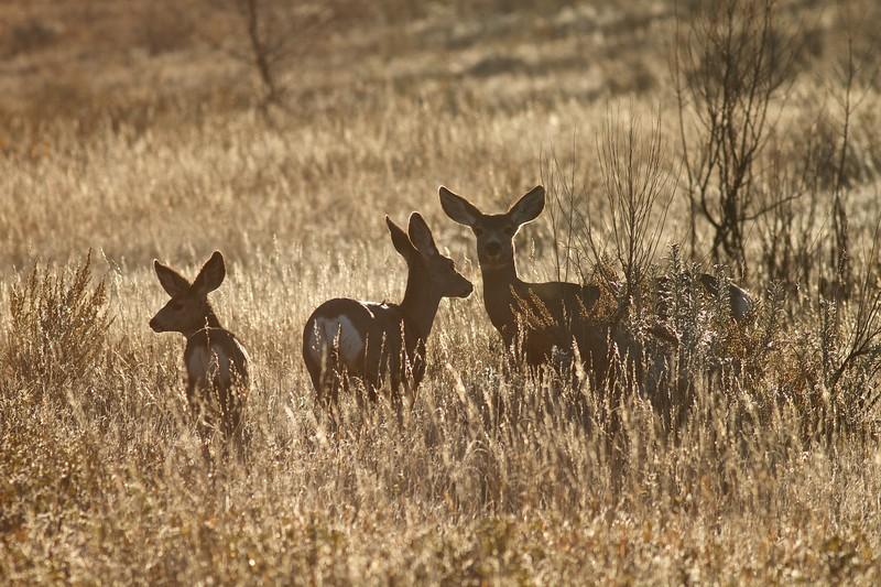 Mule Deer Teddy Roosevelt National Park ND IMG_7482.jpg
