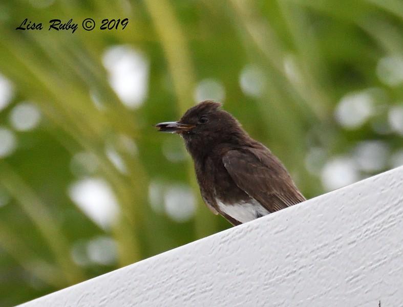 Black Phoebe - 6/18/2019 - Backyard (neighbor's pergola) Sabre Springs