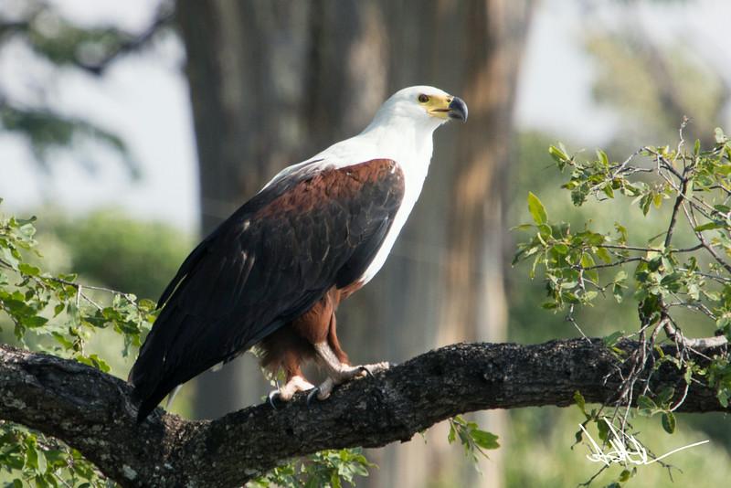 African Fish Eagles-3.jpg