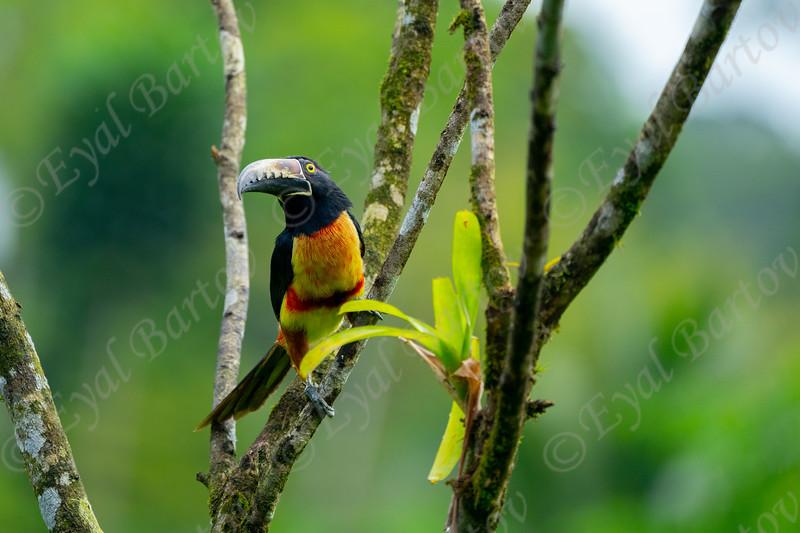 Collared aracari (Pteroglossus torquatus) EYL05667.jpg