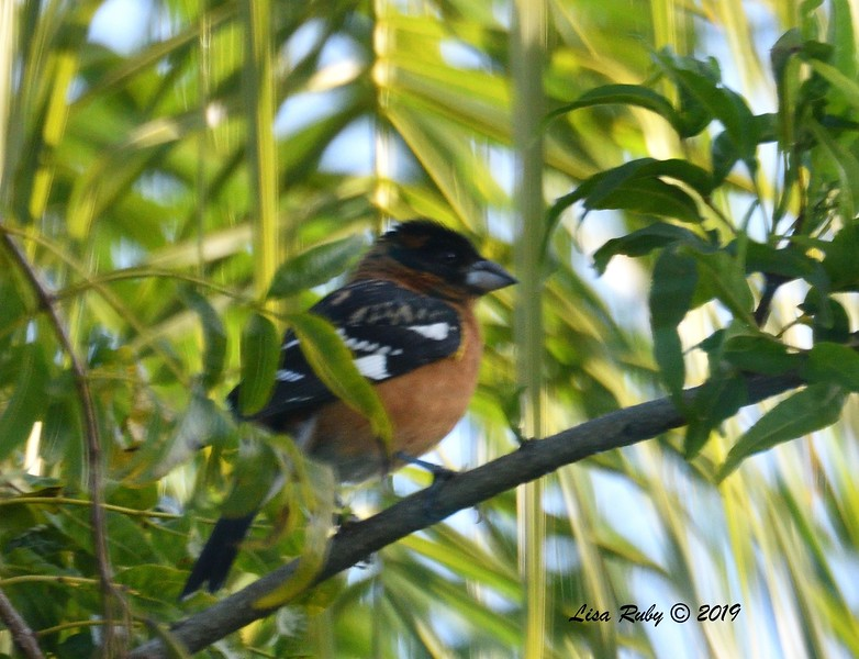 Black-headed Grosbeak - 4/10/2019 - Backyard Sabre Springs
