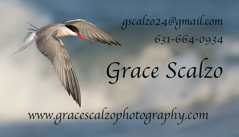 Final Bus card design Common tern over wave_O8U7228.jpg
