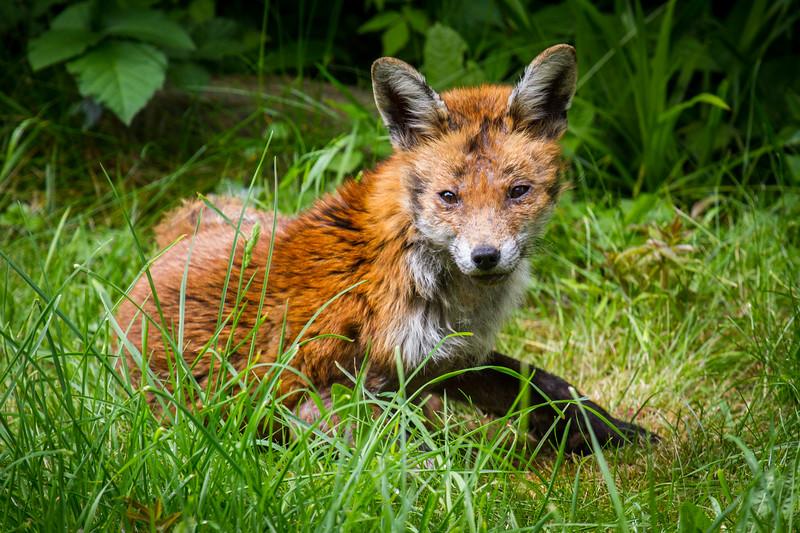 Young Mangey Fox