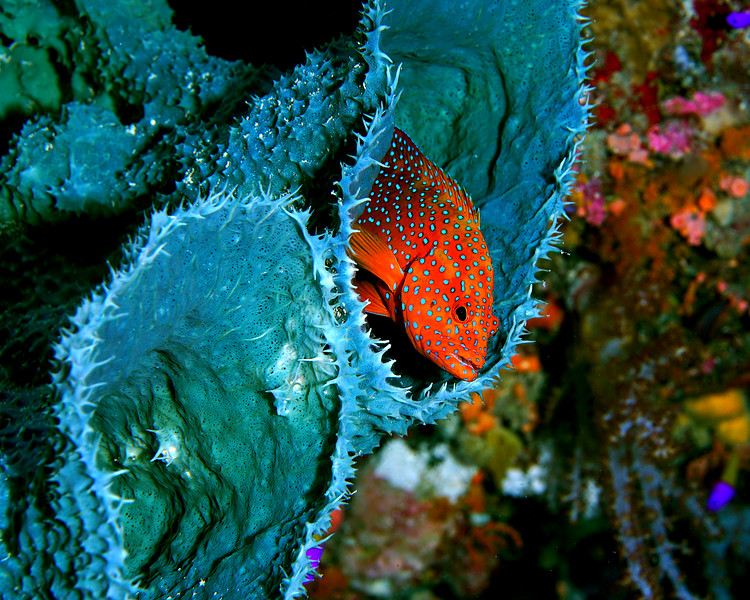 Coral Grouper and Sponge