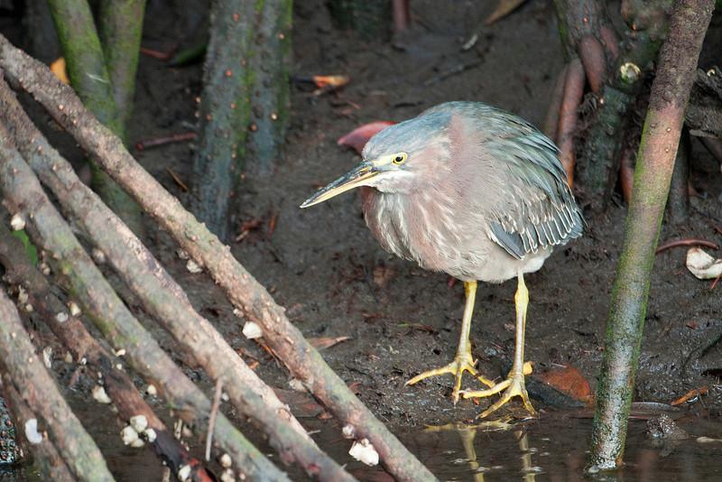 Heron - Green - Ding Darling NWR - Sanibel Island, FL