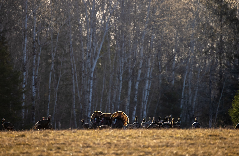 Wild Turkey flock displaying male toms courtship Skogstjarna Carlton County MN  IMGC5717.jpg