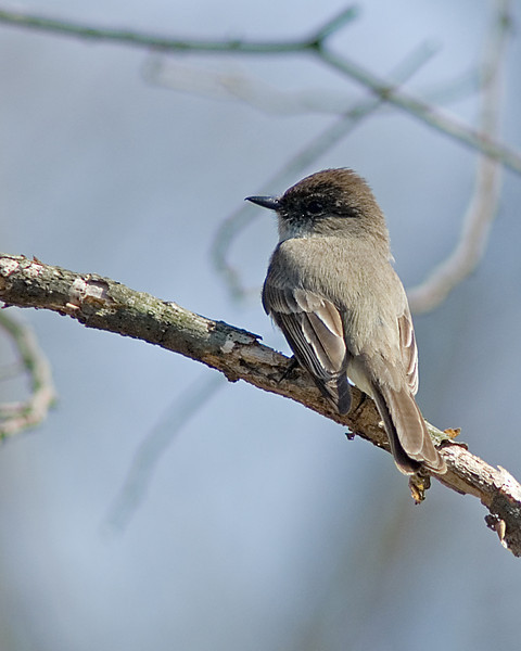 Eastern Phoebe  While taking my parents to see their first Bluebirds, we stumbled upon this Phoebe.  He was actively singing and attracted a female.  We watched for 20 minutes as they acrobatically displayed their talents!  Highbanks Metro Park, Columbus, OH