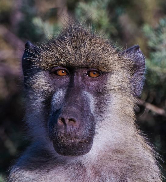 Baboons-1.jpg