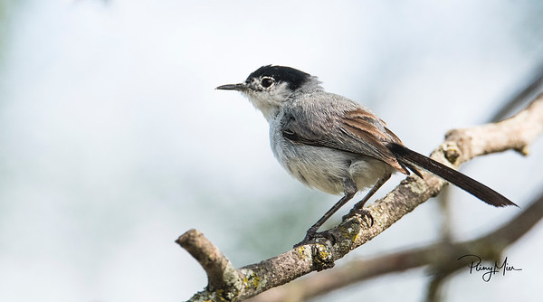 Black-tailed Gnatcatcher LL.jpg