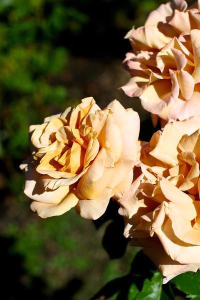 Portland International Rose Test Garden  2213.jpg