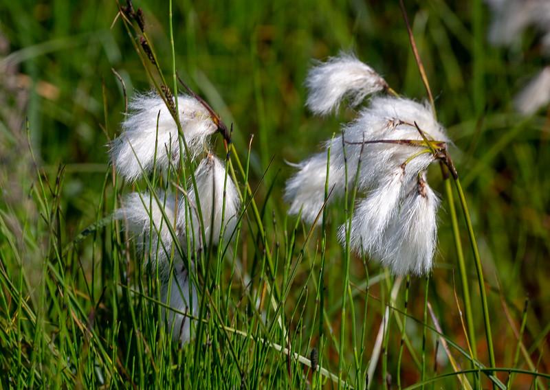 Nordic Cotton Grass