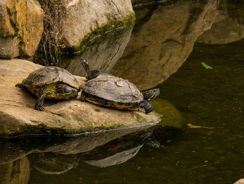 Elmwood Park Zoo - Turtles on Rock (p).jpg