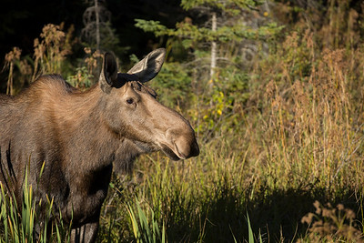 Algonquin 2015 - The Moose