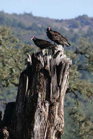 Sonoma Vultures