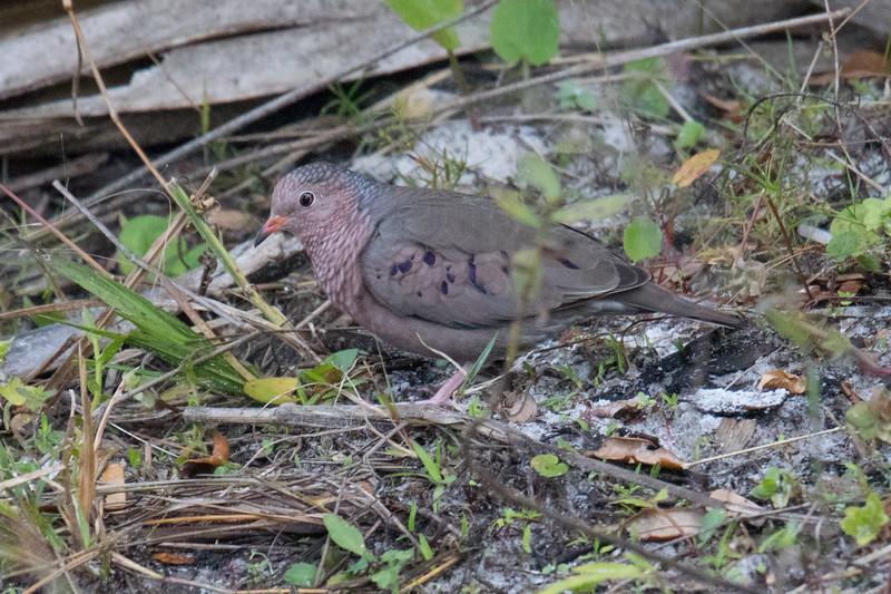 Ground Dove FL 2020-1.jpg
