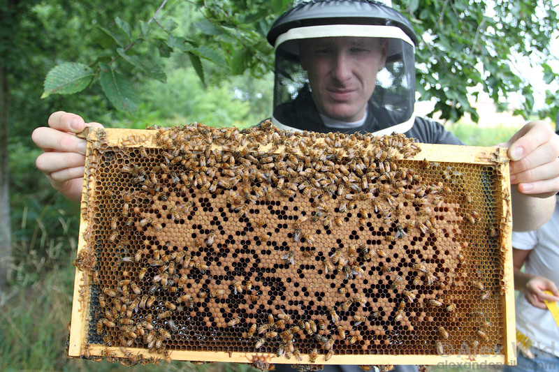 A beekeeper holds a frame of capped worker brood.