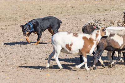 Herding Sunday 10-30-16