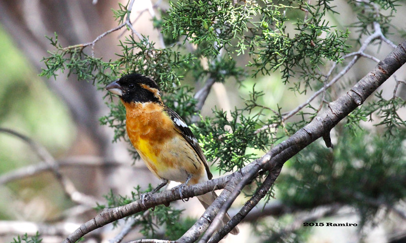Black-headed Grosbeak 5-16-15 535.jpg
