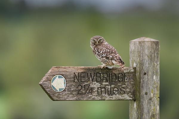Owls - Little Owls