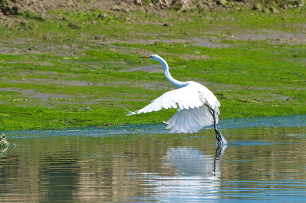 Egrets and Herons - Elkhorn Slough
