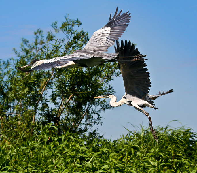 COCOI HERON PAIR FLIGHT.jpg