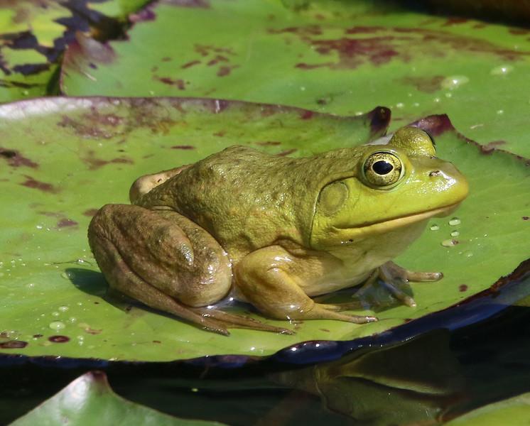 bullfrog maine 2.jpg