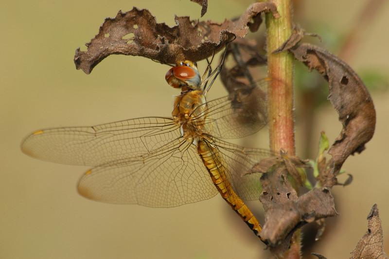 Pantala flavescens (Wandering Glider), GA