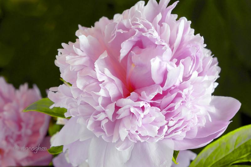 Flowers_Peony-Pink_0229.jpg