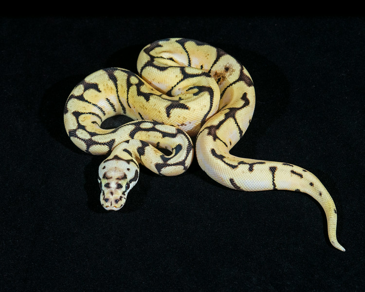 Bumble Bee F0714, Sold Tulsa Reptile show