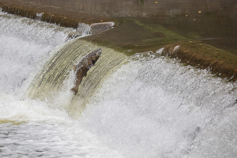 salmon upstream (45 of 48).jpg