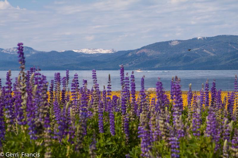 Tahoe City Wild Flowers_20090702_1091.jpg