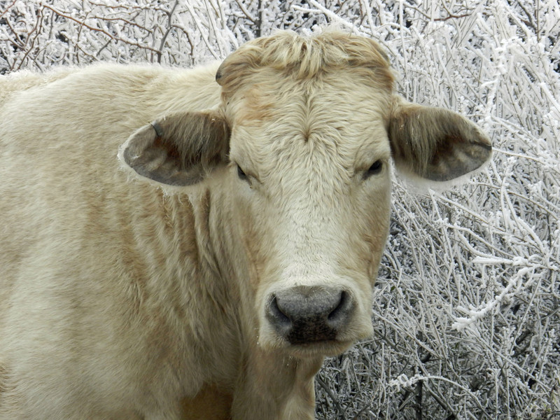 SLR Cow tan in ice closeup.jpg