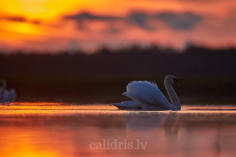 Paugurknābjai gulbis ezerā / Mute swan in a lake