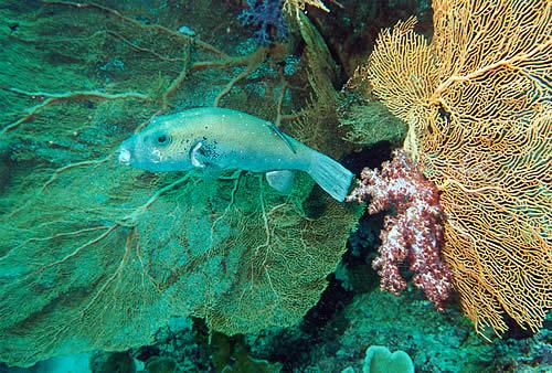 Puffafish and coral, Similan Islands