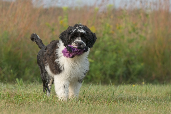 Dog, Portuguese Water Dog