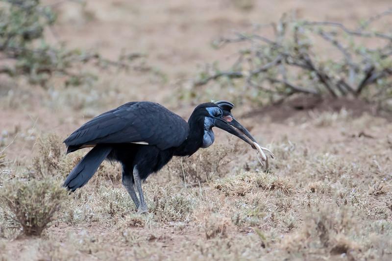 Northern Ground-hornbill